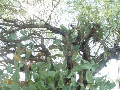 Feigenkaktus in Carefree, Arizona