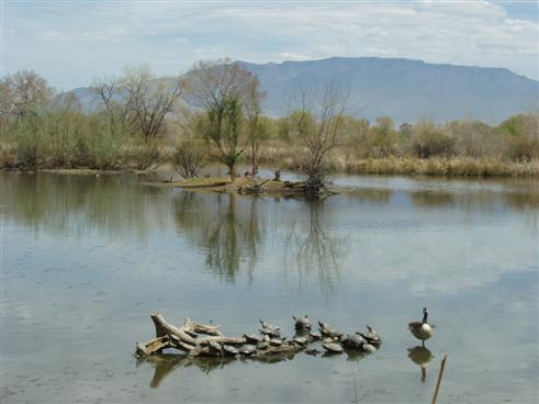 Wasserschildkrötenfamilie im Rio Grande