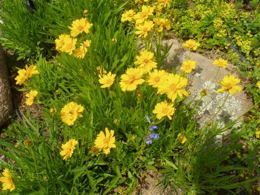 Gelbe Wüstenblümchen