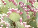 Prickley Pear Kaktus
