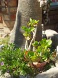 Fettpflanzen, Succulente