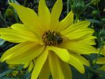 Biene bei der Nahrungssuche