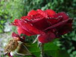 Rosentraum im Regen