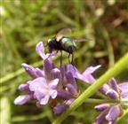 Fliege in Ritterrüstung