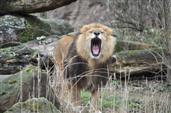 Der Rachen des gähnenden Löwen