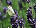 Weißling am Lavendel