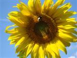 Tankstelle Sonnenblume