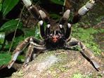 tarantula - attack!