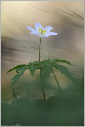 Frühling im Wald... Buschwindröschen *Anemone nemorosa*
