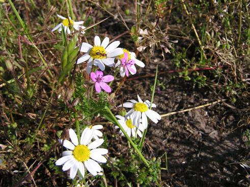 Blume mit Ameise