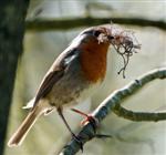 Rotkehlchen beim Nestbau