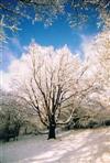 Buche im Schnee