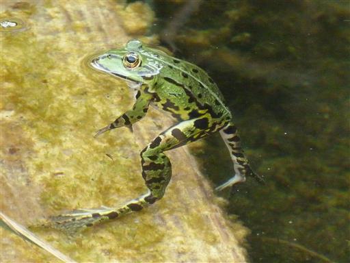 Laufender Frosch