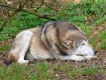 Müder, alter Wolf