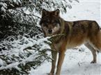 Neugieriger Wolf