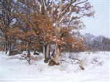 alte Eiche im Schnee