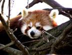 Mittagsruhe bei Pandas