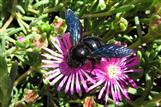 Holzbiene Xylocopa