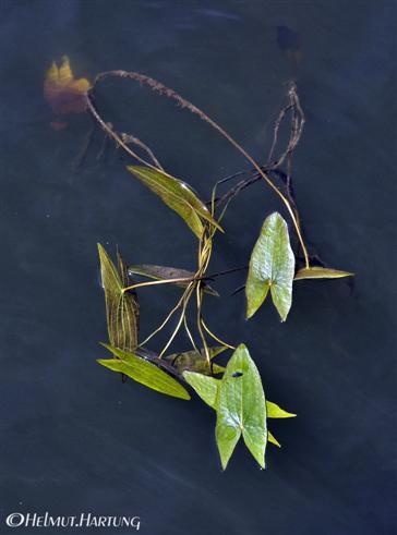 Seerosenblätter
