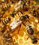 Bienenkönigin III