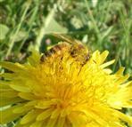 Biene-Pollensammlerin