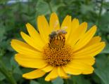 Honigbiene - Pollensammlerin