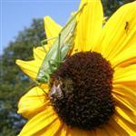 Heupferd-Biene-Ameise