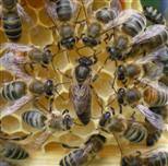 Bienenkönigin II