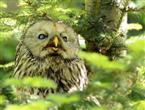 Habichtskauz im Nationalpark Bayerischer Wald