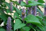 Hummel oder Biene liebt Aniskraut
