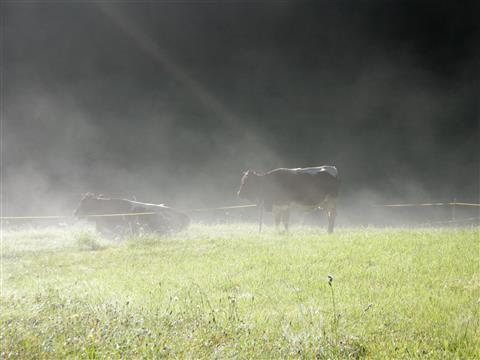 Kuh-Morgen