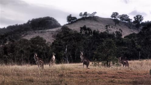 Kängurus in der australischen Abenddämmerung