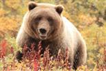 Großer Denali-Bär