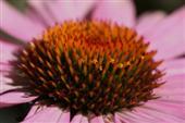 Blühende Heilpflanze