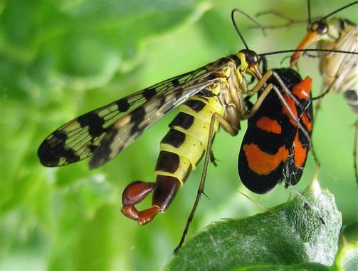 Skorpionsfliegen/Blutzikade