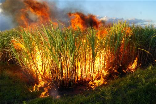 burning sugar cane before harvesting