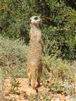 meercat on duty