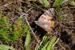 Schmetterling auf Island