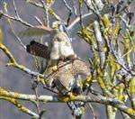 Falken bei der Paarung