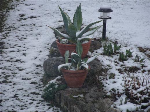Agaven im Schnee