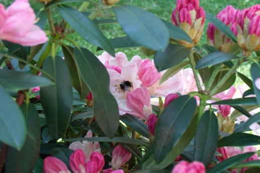 Hummel nimmt Blütenbad.