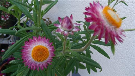 Strohblumen am Haus