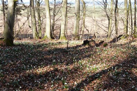 Märzenbecher in Naturschutzgebiet