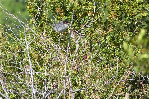 Samtkopfgrasmücke