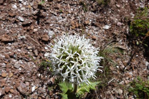 Blüte der weißen Kugeldistel echinops spinossisimum