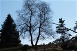 Alte Birke
