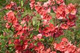 in voller Blüte oder voller Blüten