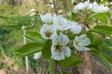 Blüten des Birnbaumes