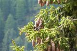 Ringdrossel (Turdus torquatus)
