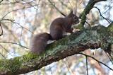 Eichhörnchen, dunkele Rasse